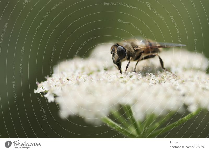 obstinate Nature Plant Animal Spring Summer Blossom Agricultural crop Wild plant Bee Wing 1 Green Nutrition Suck Compound eye Insect Common Yarrow Colour photo