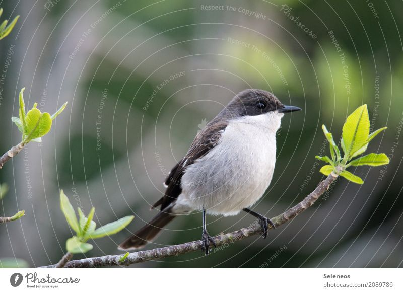 Southern Fiscal Shrike Trip Far-off places Freedom Environment Nature Spring Plant Tree Bushes Leaf Branch Garden Park Forest Animal Wild animal Bird