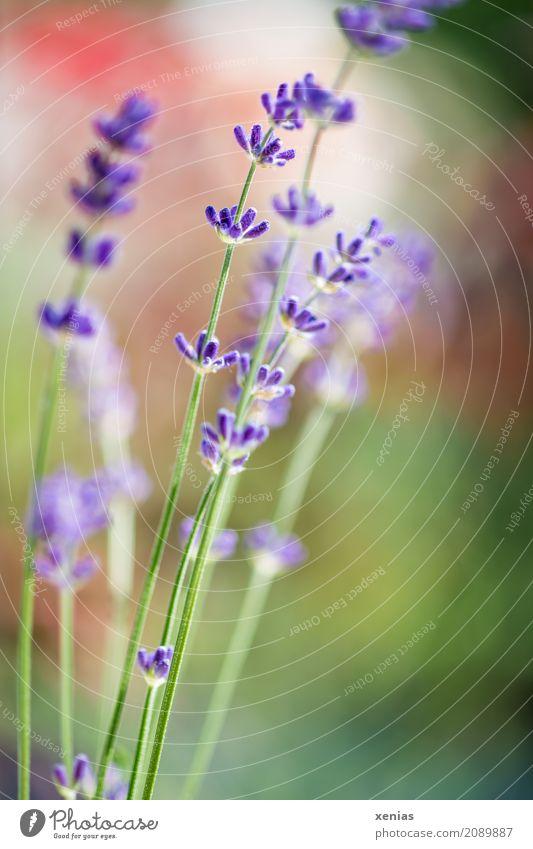 lavender Spring Summer Plant Flower Blossom Lavender Garden Park Fragrance Green Violet Red lavandula angustifolia Real Lavender Card Colour photo Exterior shot
