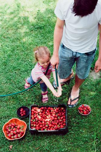 Siblings washing strawberries freshly picked in a garden Human being Child Nature Summer Green Red Girl Natural Boy (child) Family & Relations Garden Above