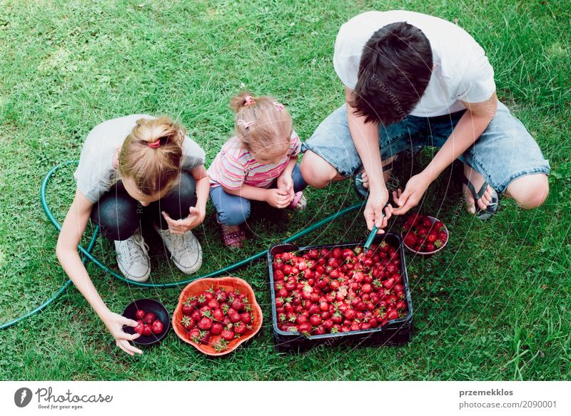 Siblings washing strawberries freshly picked in a garden Fruit Summer Garden Child Girl Boy (child) Family & Relations 3 Human being Nature Fresh Natural Above