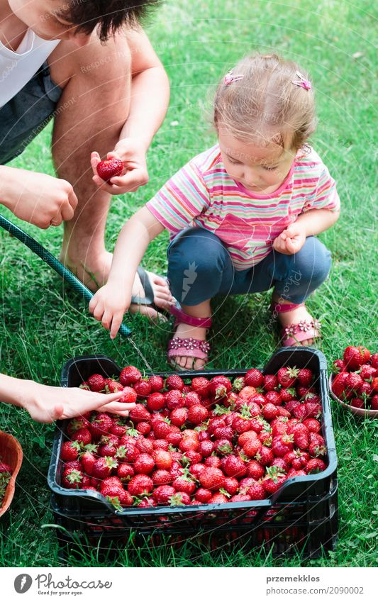 Siblings washing strawberries freshly picked in a garden Human being Child Nature Summer Green Red Girl Natural Boy (child) Family & Relations Garden Fruit