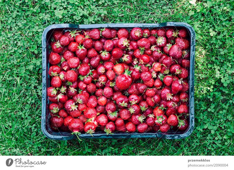 Overhead shot of freshly picked strawberries in a box Food Fruit Summer Garden Nature Fresh Natural Above Juicy Green Red Berries Farm Harvest healthy Organic