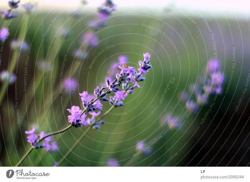 lavender at sunset Nature Plant Summer Flower Relaxation Calm Joy Life Lifestyle Spring Emotions Meadow Style Garden Design Living or residing