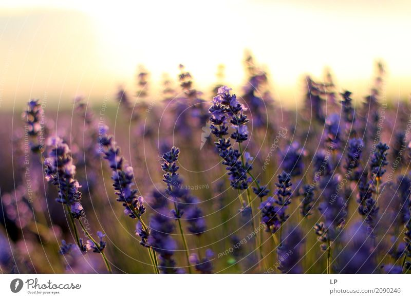lavender at sunrise Lifestyle Style Design Exotic Joy Beautiful Healthy Alternative medicine Medication Wellness Harmonious Well-being Contentment Senses