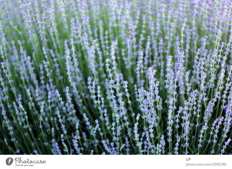 blooming lavender Nature Plant Beautiful Landscape Flower Relaxation Calm Life Lifestyle Interior design Emotions Meadow Background picture Healthy Health care