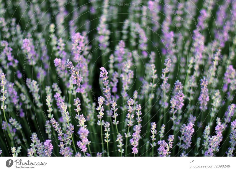 Lavender field Nature Vacation & Travel Landscape Flower Relaxation Calm Environment Life Lifestyle Interior design Emotions Meadow Background picture Garden