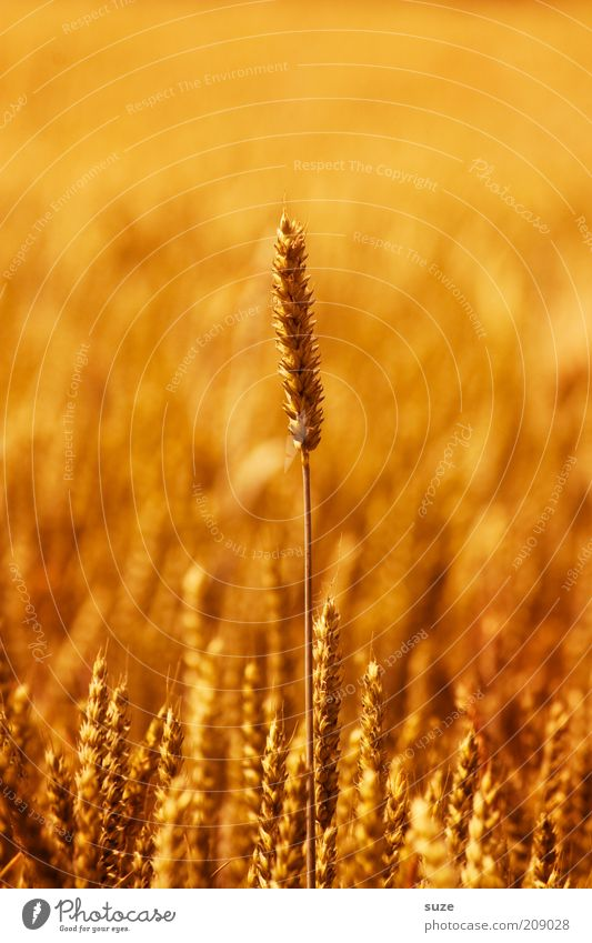 Nature Summer Plant Yellow Environment Warmth Field Gold Natural Food Growth Many Symbols and metaphors Grain Grain Harvest