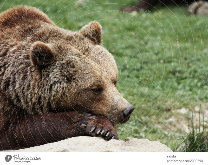 Nature Relaxation Animal Calm Brown Contentment Lie Wild animal Force Sleep Break Mammal Animal face Zoo Paw Rest
