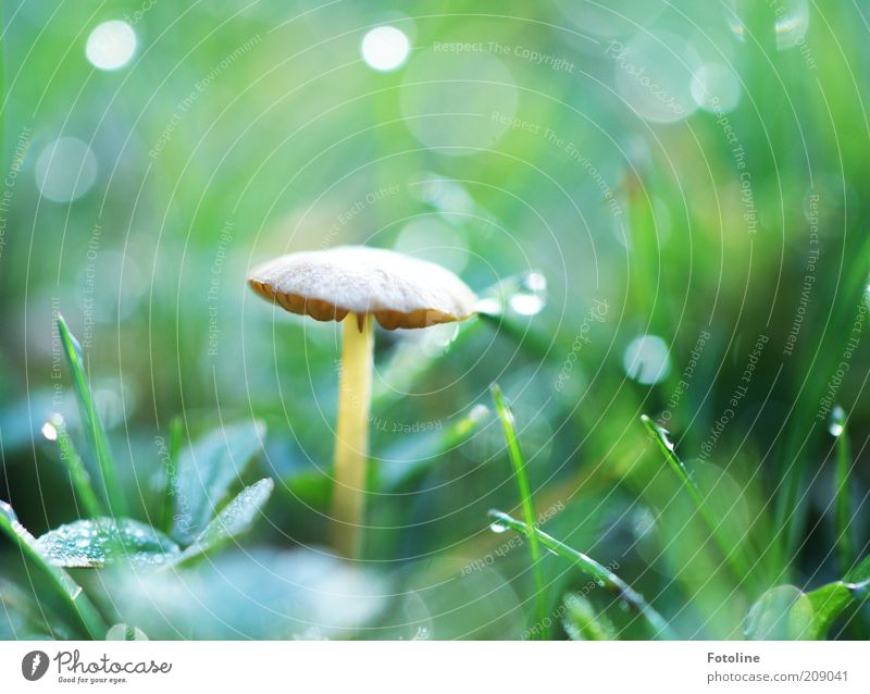 And another mushroom. Environment Nature Plant Elements Earth Water Drops of water Summer Grass Bright Wet Natural Brown Green Mushroom Mushroom cap Lamella