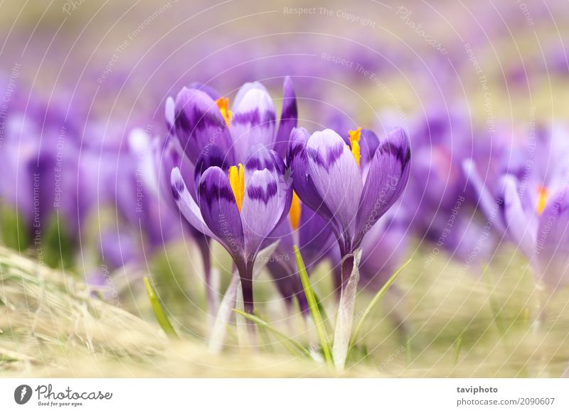 closeup of wild saffron flowers Beautiful Mountain Garden Easter Nature Landscape Plant Spring Flower Grass Blossom Meadow Growth Bright Natural Wild Blue