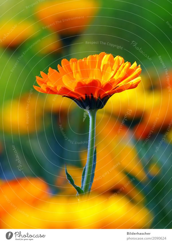 Powerful and colourful Marigold Garden plants Medicinal plant Flowering plants Blossom leave Flower meadow Alternative medicine Orange Yellow Summerflower
