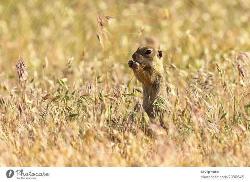 european ground squirrel in natural habitat Eating Beautiful Environment Nature Animal Grass Meadow Feeding Stand Small Funny Natural Cute Wild Brown Green