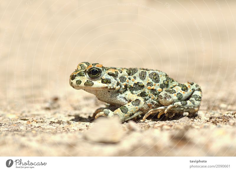 full length image of european green toad Nature Youth (Young adults) Green Animal Environment Natural Small Garden Wild Sit Europe Photography Cute Living thing