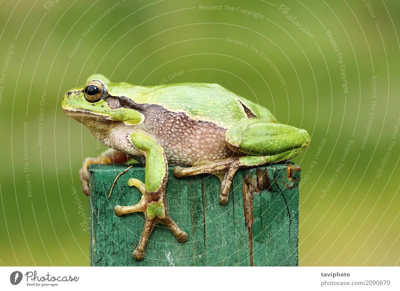 green tree frog close up Beautiful Garden Adults Nature Animal Spring Tree Forest Pet Observe Small Funny Natural Cute Wild Green Colour Toad hyla arborea