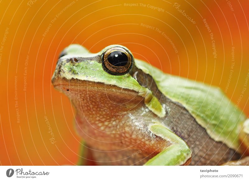 green tree frog portrait over colorful background Nature Colour Beautiful Green Tree Animal Adults Environment Funny Natural Small Wild Wet Cute