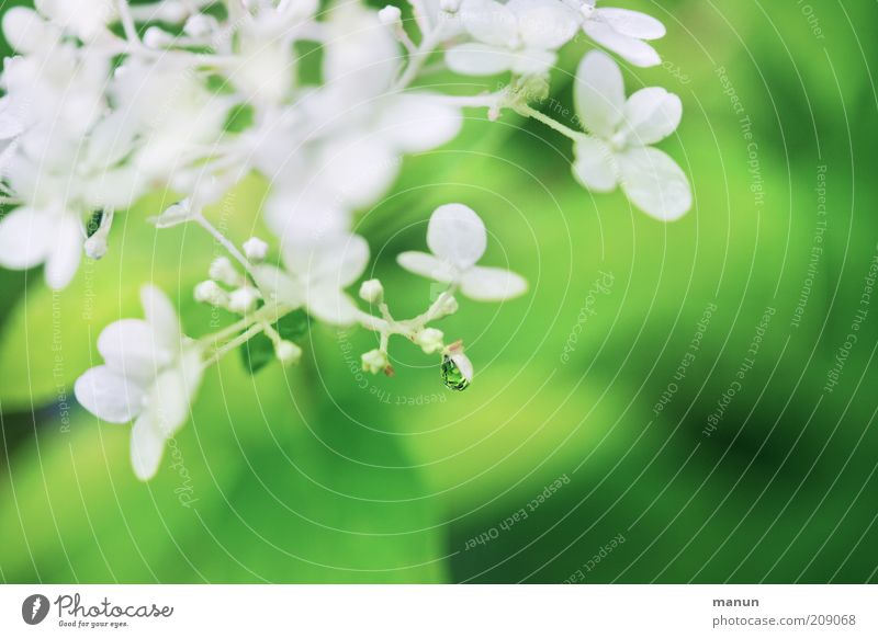 drip catcher Fragrance Nature Plant Drops of water Spring Summer Flower Bushes Blossom Hydrangea blossom Summerflower Blossoming Fresh Wet Beautiful Green White