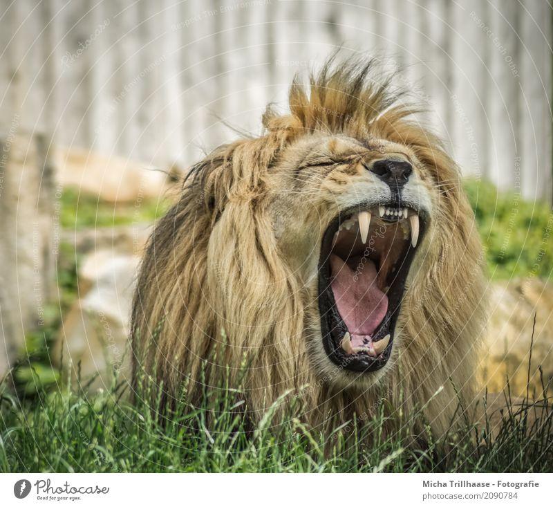 Yawning Lion Nature Animal Sun Sunlight Beautiful weather Grass Foliage plant Wild animal Animal face Pelt Lion's mane Set of teeth 1 Relaxation Lie Sleep