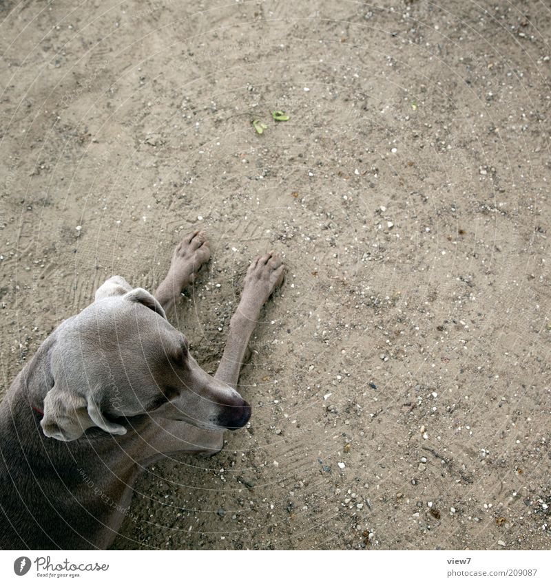 Animal Relaxation Head Gray Dog Sand Wait Dirty Elegant Earth Esthetic Authentic Simple Lie Thin Trust