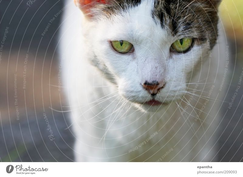 Cat Gaze White Green Beautiful Animal Gray Natural Authentic Cool (slang) Curiosity Animal face Direct Watchfulness Pet Mammal Snout