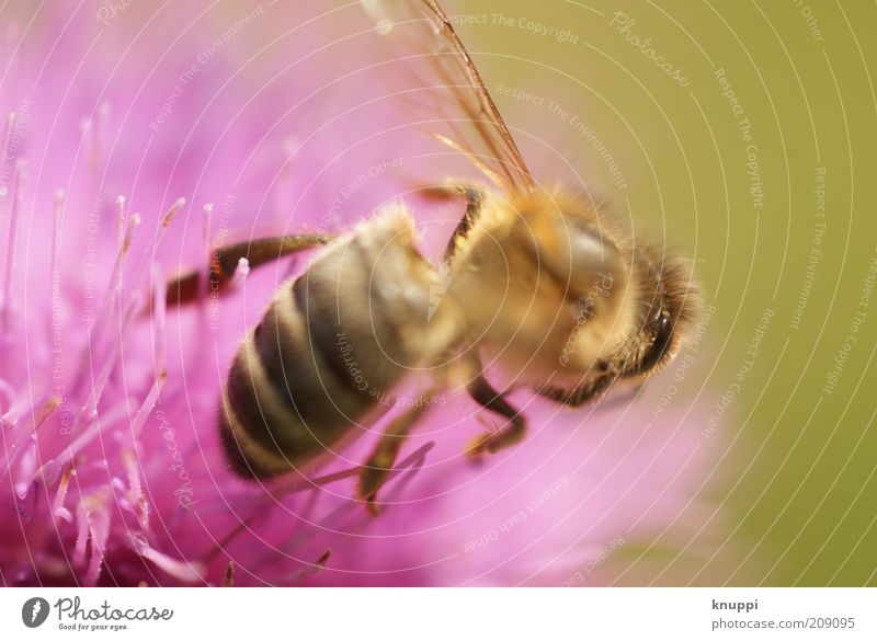 just a bee Honey Honey bee Summer Environment Nature Plant Animal Sunlight Spring Beautiful weather Flower Blossom Wing Insect Bee 1 Yellow Pink Black Diligent