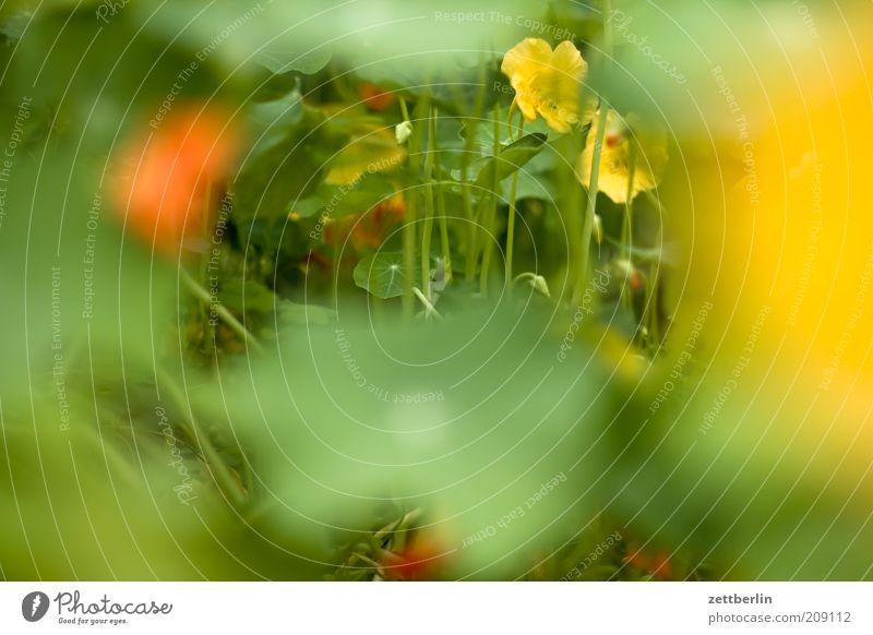 Nature Green Plant Flower Leaf Yellow Grass Blossom Orange Natural Growth Herbs and spices Macro (Extreme close-up) Nasturtium
