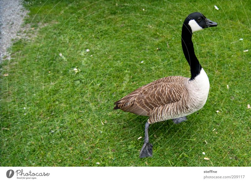 Green Black Animal Meadow Grass Movement Brown Walking Lawn Feather Neck Pet Goose Farm animal
