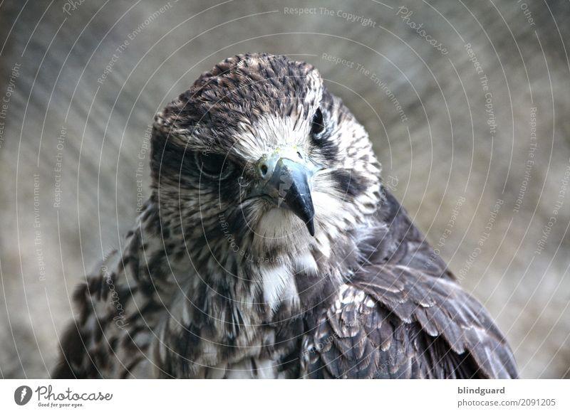 Falconlord Animal Bird Animal face Feather Beak 1 Observe Friendliness Brown Gray Black White Self-confident Power Esthetic Contentment Elegant Freedom Pride