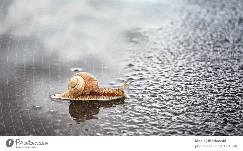 Snail crossing a puddle. Nature Animal Summer Rain Street Crawl Wet Natural Slimy Brown Serene Mobility Attachment snail Shell wildlife slow slug Puddle Asphalt