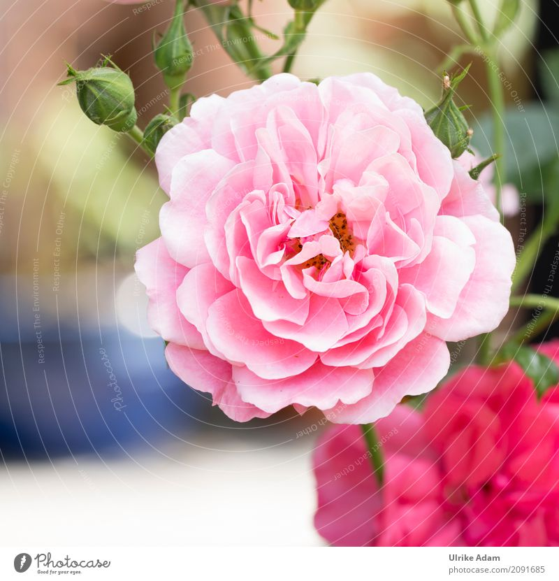 Pink Rose Elegant Style Design Decoration Wallpaper Image Poster Card Valentine's Day Wedding Nature Plant Summer Flower Blossom Park Blossoming Fragrance