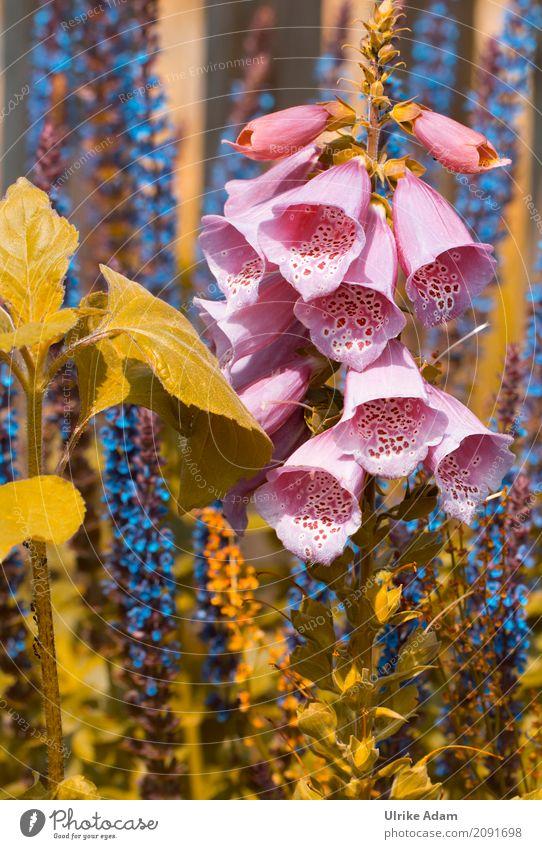 thimble Style Arrange Decoration Wallpaper Nature Plant Summer Flower Blossom Wild plant Pot plant Foxglove Sage blossom Garden Park Blossoming Beautiful Blue