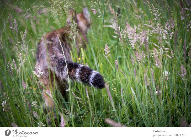 roaming Hunting Nature Plant Animal Summer Grass Garden Meadow Pet Cat 1 Observe Blossoming Going Faded Elegant Success Brown Yellow Gray Green Black Moody