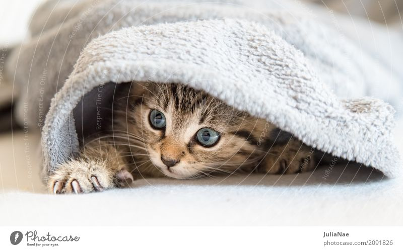 little cat is hiding Beautiful Playing Child Baby 1 Human being Animal Pet Cat Animal face Pelt Claw Baby animal Cuddly Small Curiosity Cute Soft Gray White