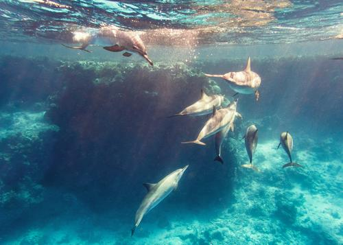 Dolphins in the reef Water Animal Ocean be afloat spinner dolphin stenella longirostris East Pacific Red Sea Egypt Dive Snorkeling Wild animal Free-living
