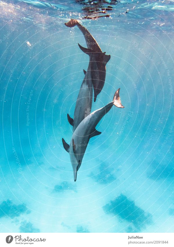 3 dolphins playing in the water Dolphin Water Animal Ocean be afloat spinner dolphin stenella longirostris East Pacific Red Sea Egypt Dive Snorkeling Wild