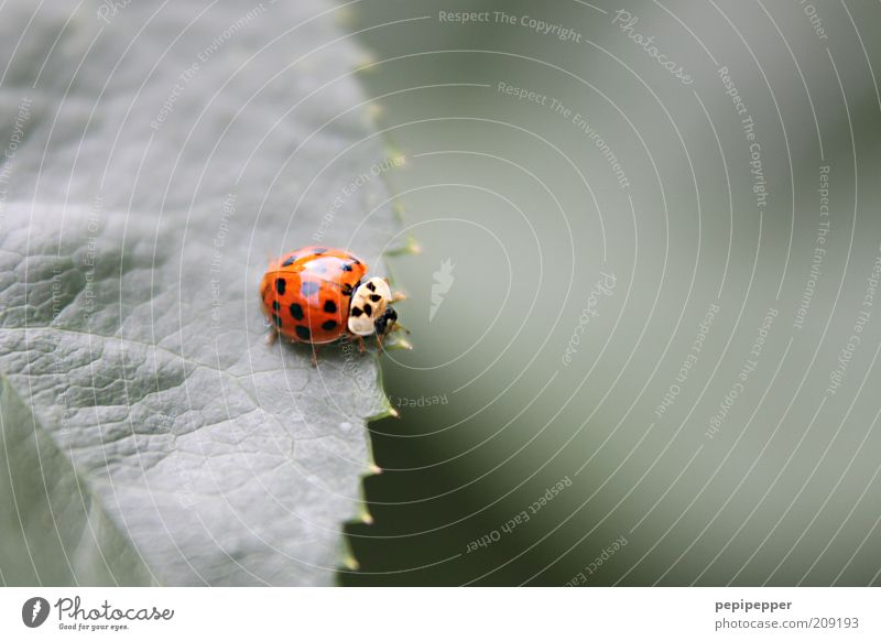on a fine line Nature Plant Summer Leaf Foliage plant Animal Beetle 1 To feed Crawl Glittering Near Natural Cute Green Red Ladybird Colour photo Exterior shot