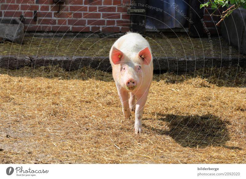 Nature Vacation & Travel Healthy Eating Animal Environment Farm Environmental protection Ecological Organic farming Swine Goose Piglet Pork