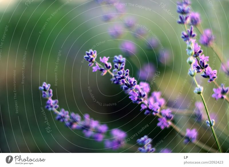 lavender flowers at dawn Nature Vacation & Travel Relaxation Calm Joy Environment Life Lifestyle Interior design Emotions Meadow Background picture Garden