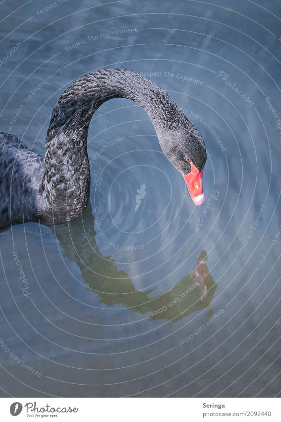 Black beauty Nature Plant Animal Water Pond Lake Brook River Wild animal Bird Swan Animal face Wing 1 Swimming & Bathing Black Swan Feather Colour photo