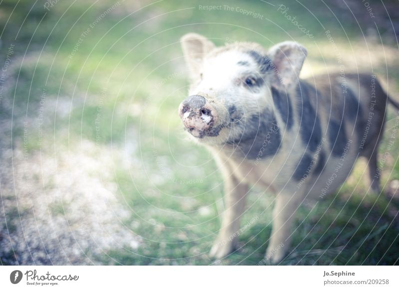 Animal Baby animal Stand Cute Animal face Pet Swine Farm animal Snout Offspring Speckled Comical Pigs Petting zoo Grunt