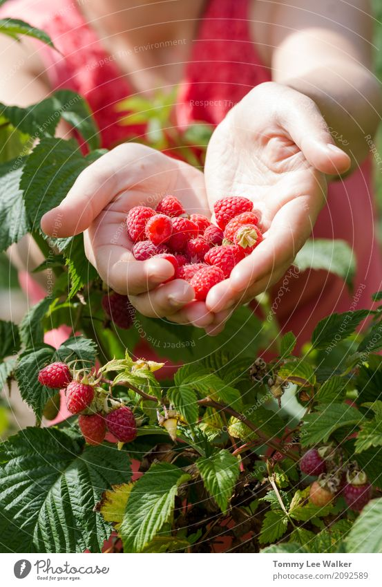 Young woman shares fresh handpicked fruits Fruit Dessert Nutrition Diet Summer Woman Adults Hand Love Fresh Delicious Natural Pink Red Tradition Raspberry Hold