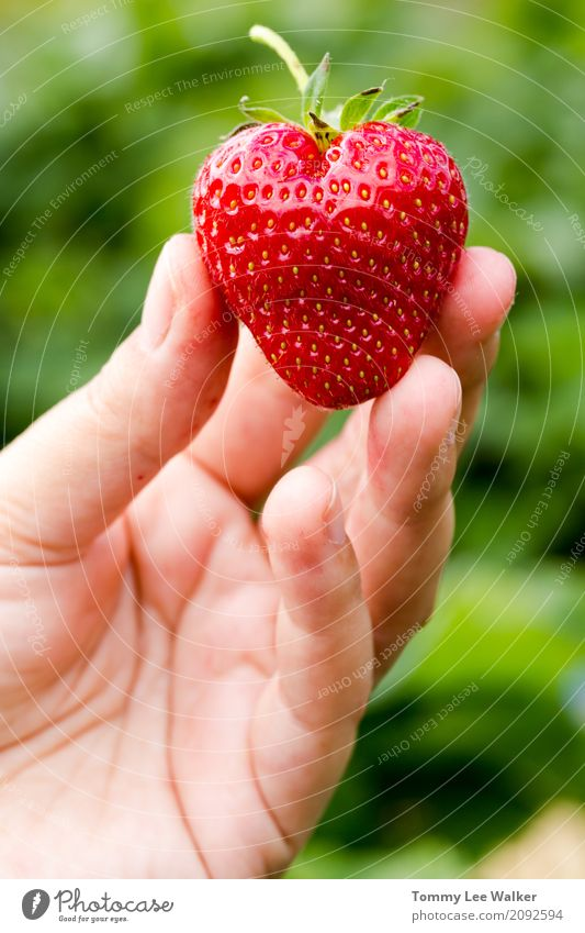 Heart shaped fresh juicy strawberry in young adult woman hand Summer Sun Gardening Friendship Youth (Young adults) Exhibition Fresh Bright Juicy Red Pride