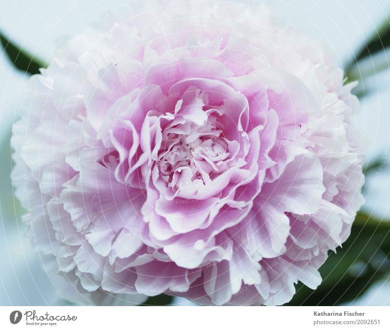 peony Plant Flower Rose Exotic Peony Nature Beautiful Blossom Splendid Blossom leave Colour photo Exterior shot Interior shot Close-up Deserted Morning Dawn Day