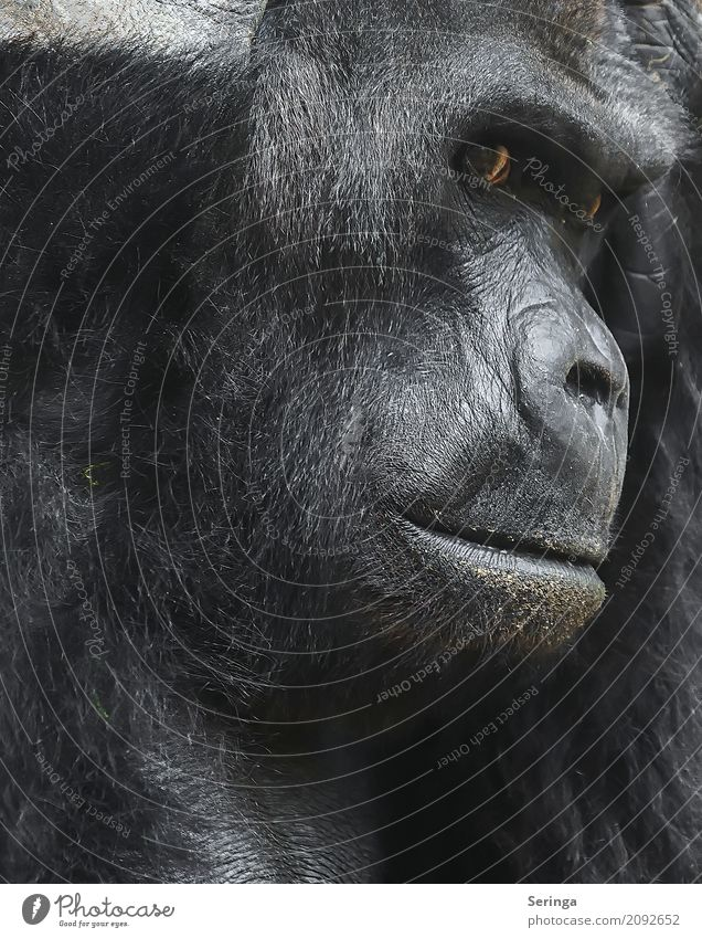 In thought Animal Wild animal Animal face Pelt Zoo 1 Observe Monkeys Gorilla Brown Meditative Face Dangerous Captured Facial expression Detail of face