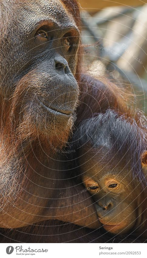 Togetherness and Security Animal Wild animal Animal face Pelt Zoo 1 Embrace Monkeys Brown Gorilla Colour photo Multicoloured Exterior shot Detail Deserted Day