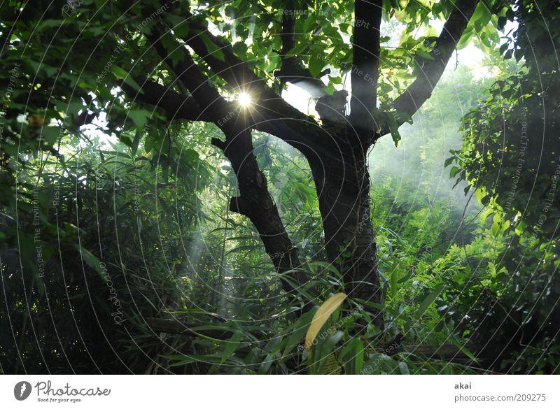 Nature Tree Sun Green Forest Gray Fog Environment Bushes Smoke Tree trunk Sunbeam Foliage plant Light Leaf canopy