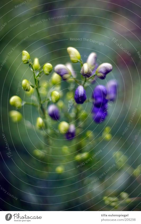 Bokehlicious Environment Nature Plant Summer Flower Growth Esthetic Natural Beautiful Wild Blue Yellow Violet monk's cap Blur Exceptional Biological