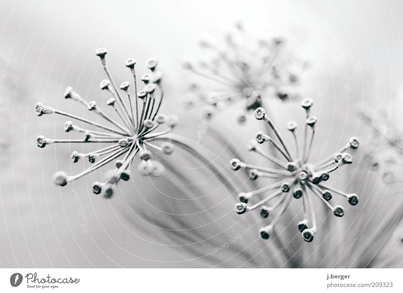 flower - umbels - close-up view Art Plant Winter Ice Frost Flower Blossom Foliage plant Apiaceae Umbellifer Blossoming Esthetic Exceptional Bright Gray Black