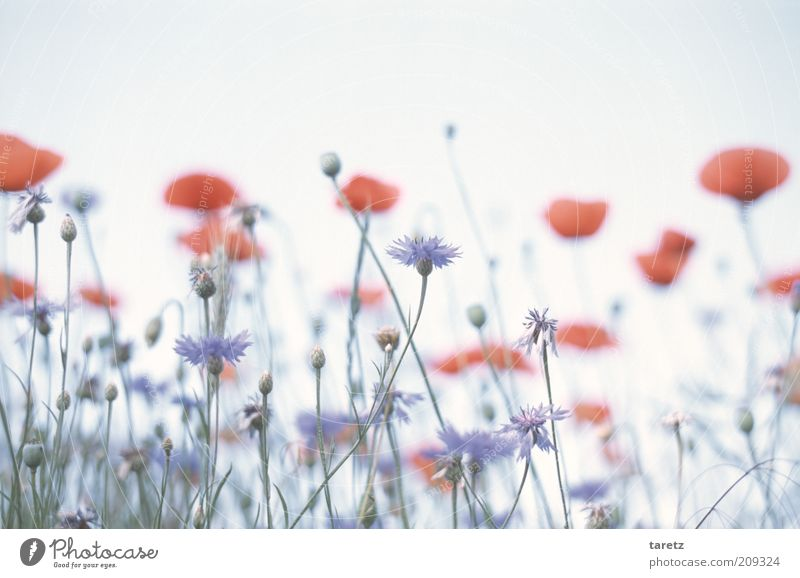 Blue flowers and poppies Environment Nature Plant Esthetic Red Poppy blossom Cornflower Poppy field Smooth Soft Fantastic Surrealism Calm Flower meadow