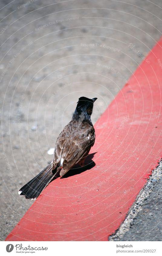 Red Animal Street Gray Line Bird Wait Pink Concrete Sit Feather Stripe